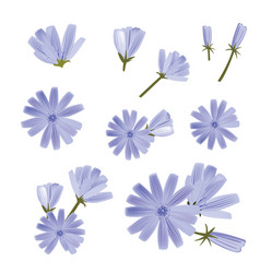 chicory a collection various flowers vector image