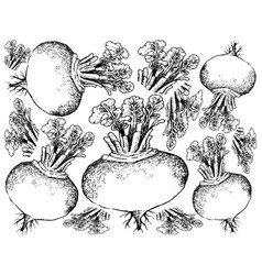 hand drawn of purple turnip on white background vector image