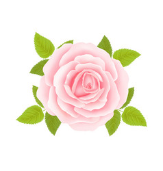 White background with a pink rose flower vector