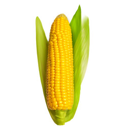 Corn ear isolated on white vector image