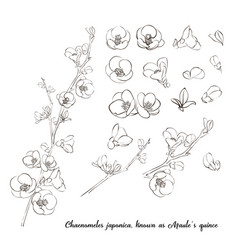 chaenomeles japonica known as maules quince vector image
