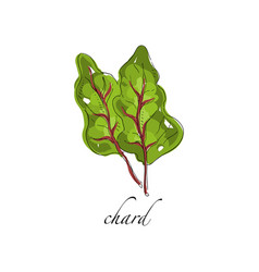 chard fresh culinary plant green seasoning vector image