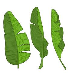 banana leaves vector image vector image