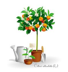 mandarin tree in the pot vector image vector image