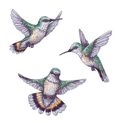 Flying humming birds sketch vector