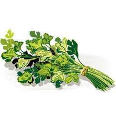 Bunch of parsley is white vector
