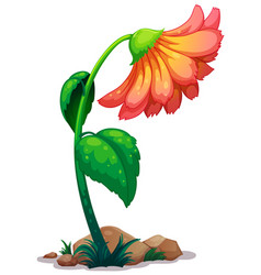 One gerbera daisy flower on white background vector