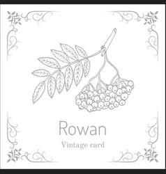 Rowan or mountain-ash tree branch with berries vector