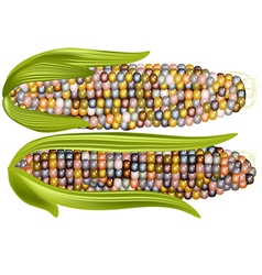 Color corn vector