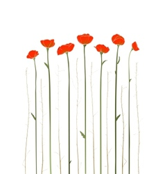 Beautiful Red Poppies vector image vector image