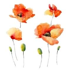 Watercolor a poppy on a white vector