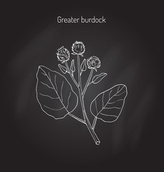 Burdock medicinal plant vector