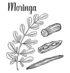 Moringa leaves and seed vintage sketch vector