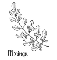 Moringa leaves vintage sketch engraved vector