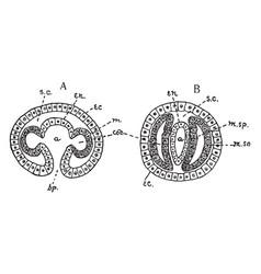 mesoderm forming vintage vector image