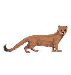 realistic south africa mongoose on white vector image