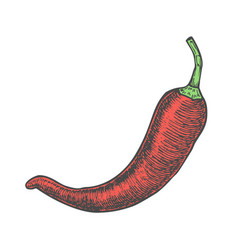 hand drawn of chili pepper sketch style doodle vector image vector image