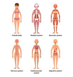 Anatomy female nerves vector