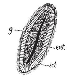 hydroid planula vintage vector image