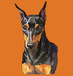 miniature pinscher colorful hand drawing portrait vector image