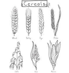 Cereals hand-drawn vector image vector image