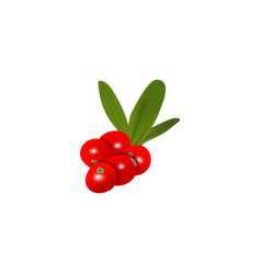 Fresh ripe cranberry berries with leaf isolated vector