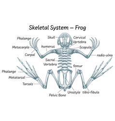 Science eduction frog anatomy vector
