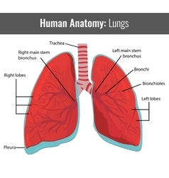 Human Lungs detailed anatomy Medical vector image