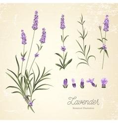 Set lavender flowers elements vector