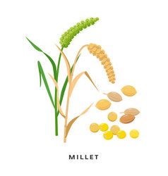 Millet cereal grass and grains - botanical vector