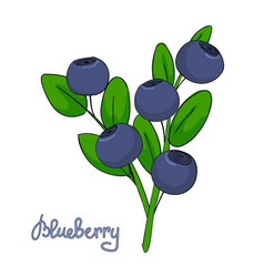 Sprig of blueberry leaves and berries of vector