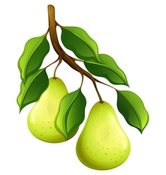 Fresh pears on branch vector