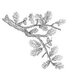 Oak leaves and acorns as vintage engraving vector