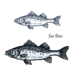 sea bass fish isolated sketch for seafood design vector image