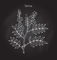 Alexandrian senna plant vector