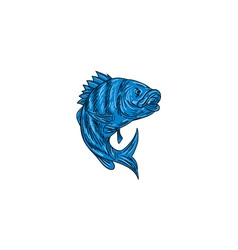 Sheepshead Fish Drawing vector image vector image