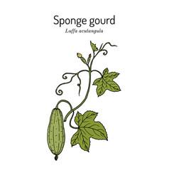 Loofah luffa acutangula or sponge gourd vector
