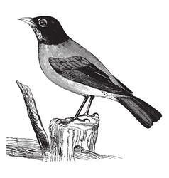 American robin vintage vector