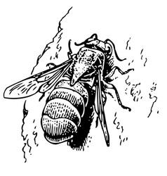 chrysis cuckoo wasp vector image