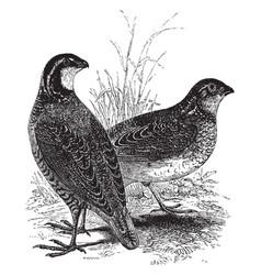 American quails vintage vector