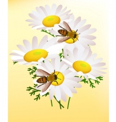 bee on chamomile vector image vector image