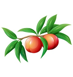 Fresh peaches on the branch vector