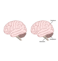 human brain anatomy side view flat vector image