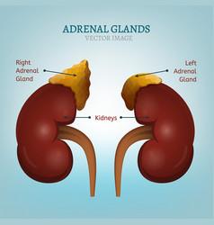 adrenal glands image vector image