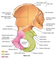 Pelvis coxal medial vector