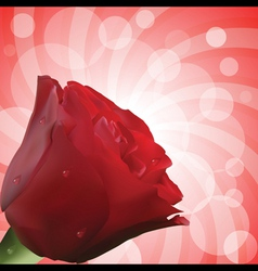 red rose with droplets and circular background vector image vector image