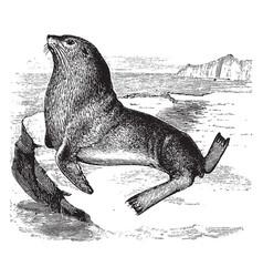 Steller sea lion vintage vector