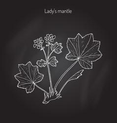 alchemilla vulgaris common lady s mantle vector image