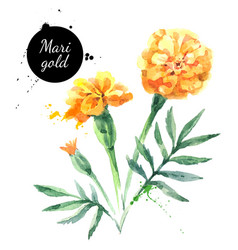 hand drawn watercolor marigold flower painted vector image