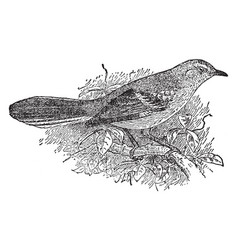 Northern mockingbird vintage vector